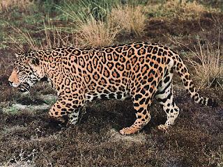 Jaguar on Los Seres Vivos  El Animal Jaguar