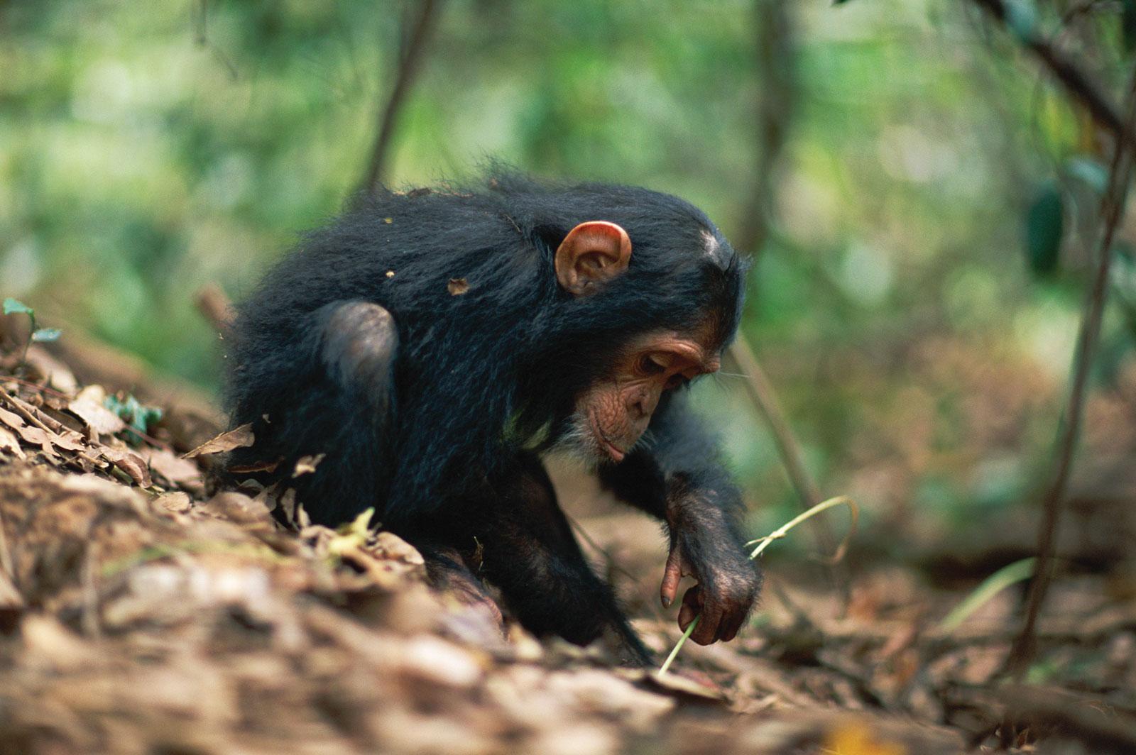 http://2.bp.blogspot.com/-CJyWKvLfAcw/Tm-nq6ZBMNI/AAAAAAAAAGA/xEl0zV75QuA/s1600/chimpanzee-4-767601.jpg