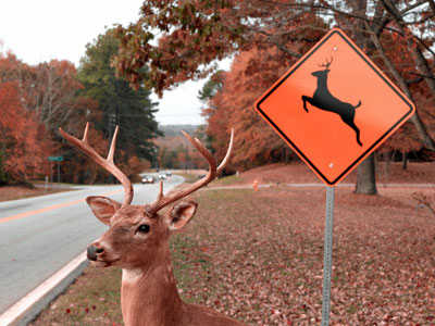 deer hunting car accidents