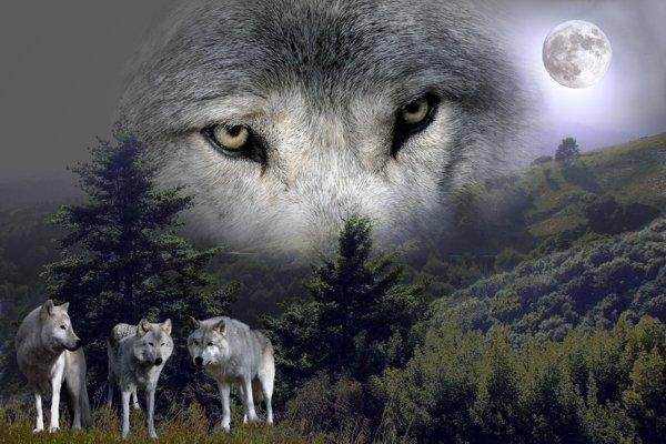 Imagenes de Lobos y Lunas LOBOS+Y+LUNA