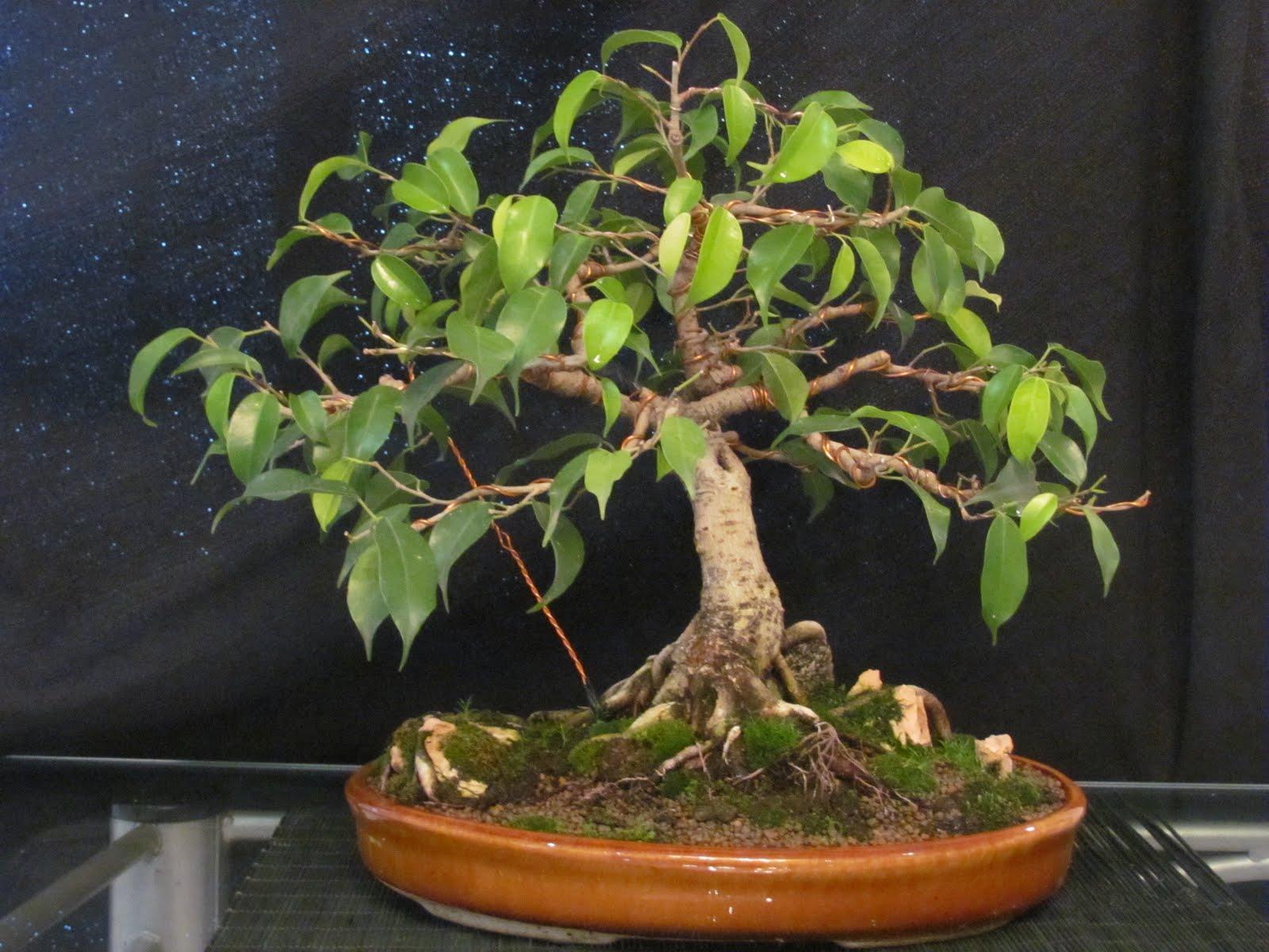 Chelo Bonsai Ficus Benjamina
