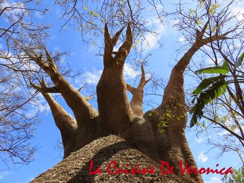 La Cuisine De Veronica Baobab Tree Bioparc Fuengirola Malaga