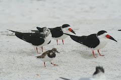 Black Skimmers & Ruddy Turnstone