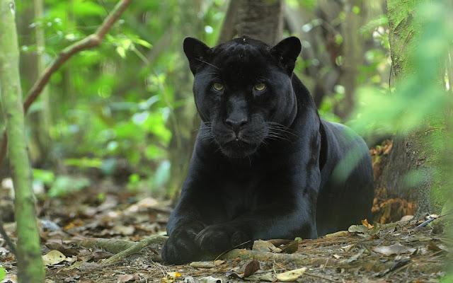 Panther Jungle
