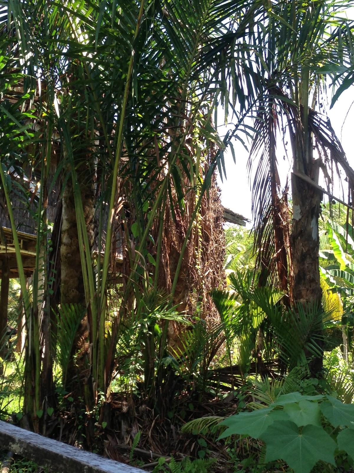 Pokok Rumbia yang terdapat di depan tempat pemprosesan sagu.