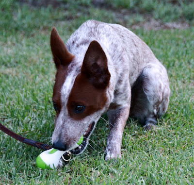 durable puppy chew toy squeaks