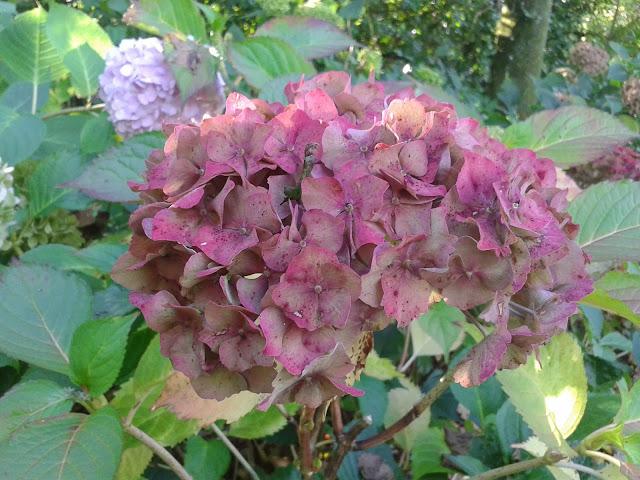 Hydrangeas Stourhead Gardens