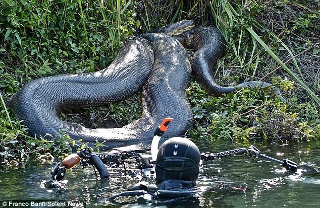 Anaconda Paling Besar yang pernah ditemukan [Asli bukan sotosop]