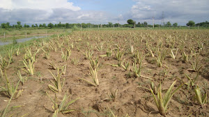 New Generation Of Aloe Vera at our Farm