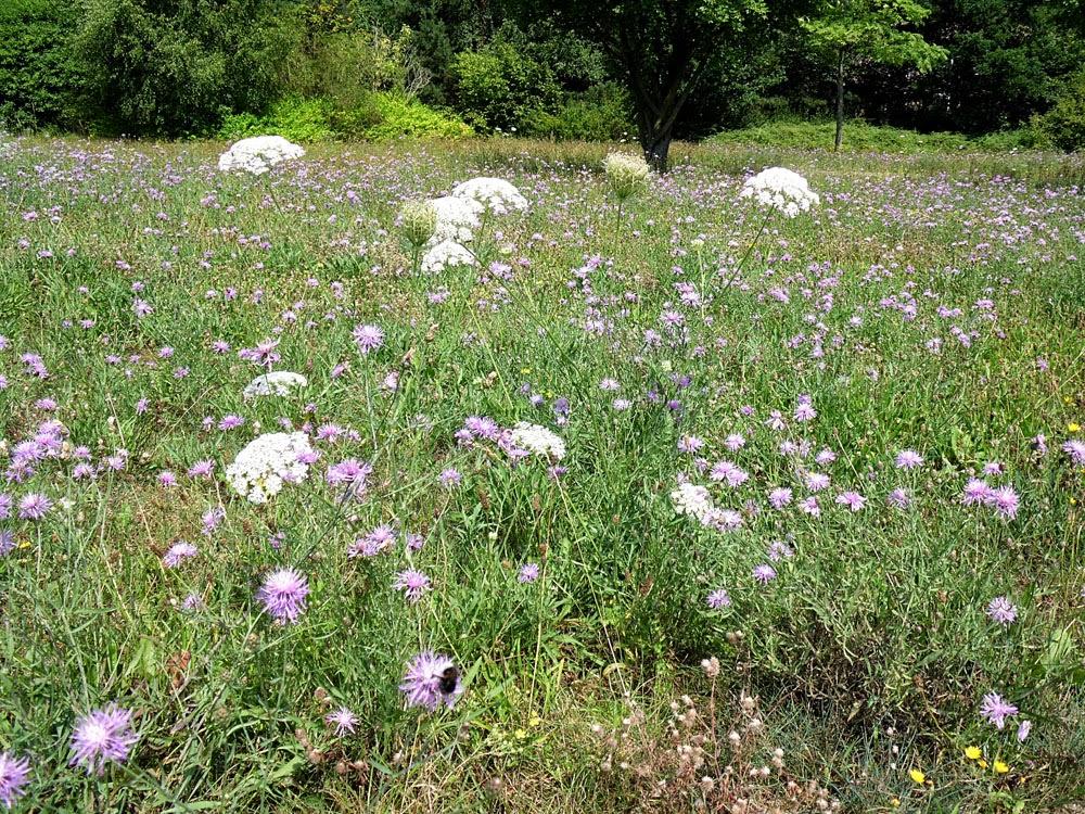 Lausitz meadow