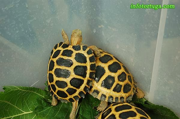 Sulawesi tortoise