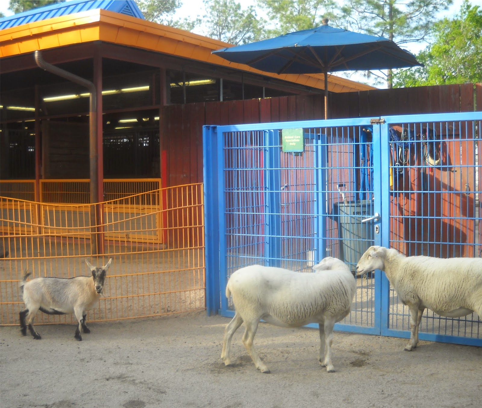 Brush goats in the pen at Disney World's Animal Kingdom in Florida
