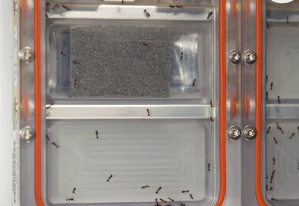صور, ناسا, الفضائية, ترسل, 800, نملة, إلى, الفضاء, لصناعة, روبوتات, 800 نملة في الفضاء