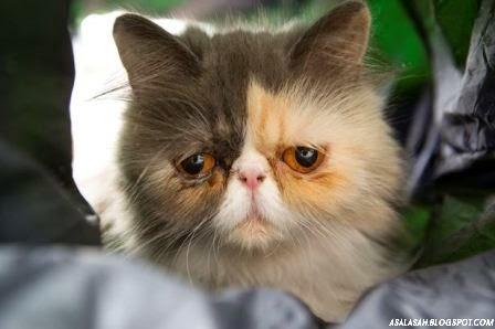 http://asalasah.blogspot.com/2014/08/pixie-si-kucing-berwajah-sendu.html