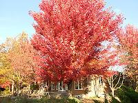 Autumn Blaze Maple For Sale1