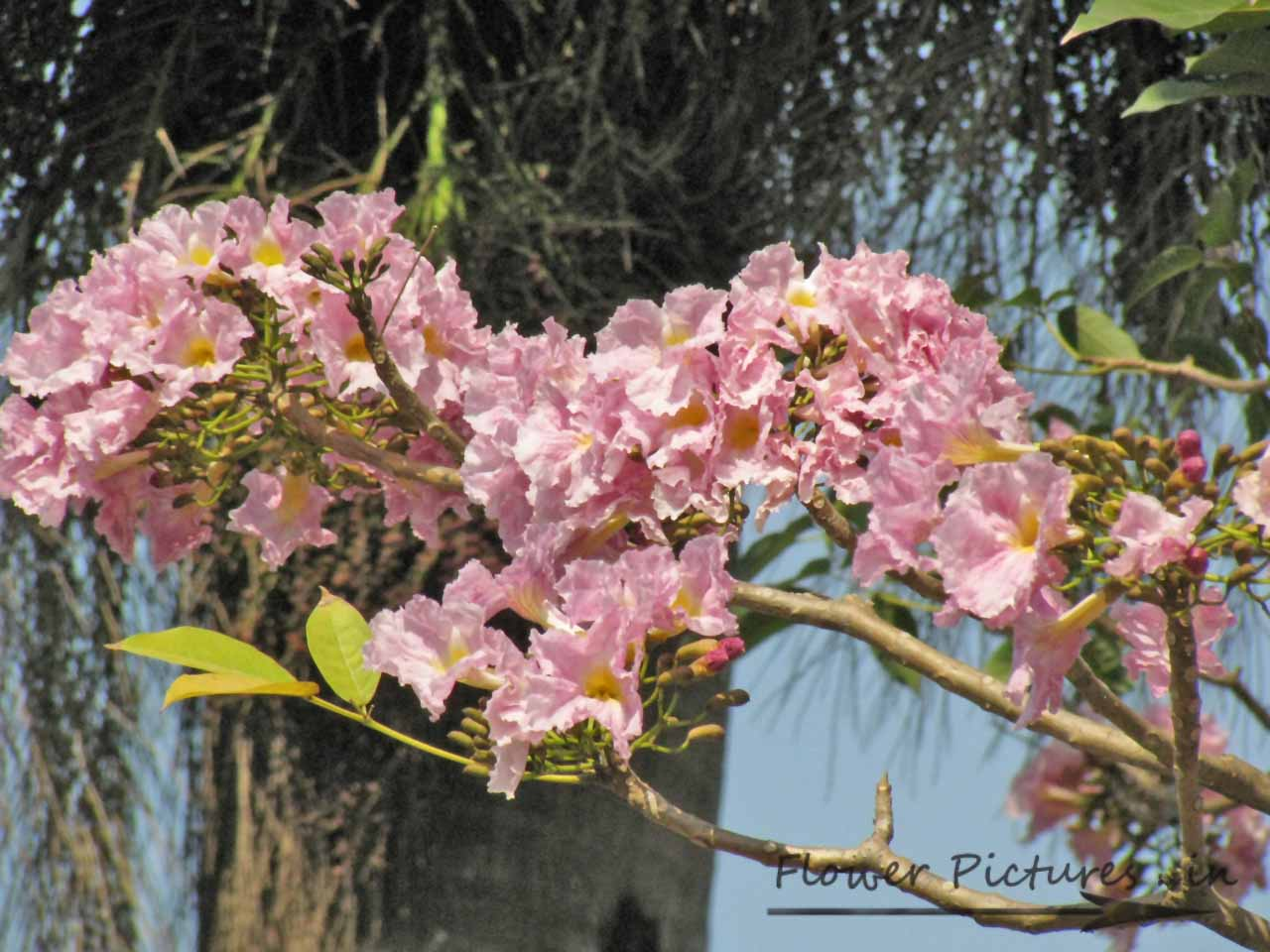 Pink flowering tree Flowers Indian flowers