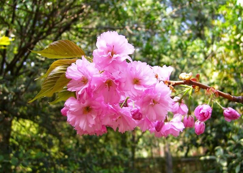Pink Cherry Blossom Flower Wallpaper