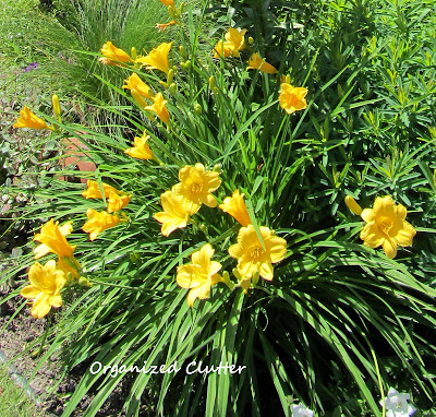 Cottage Garden - Stella D' Oro