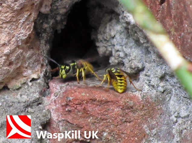 why wasps chase you