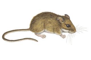 raton ciervo del noroeste Peromyscus keeni