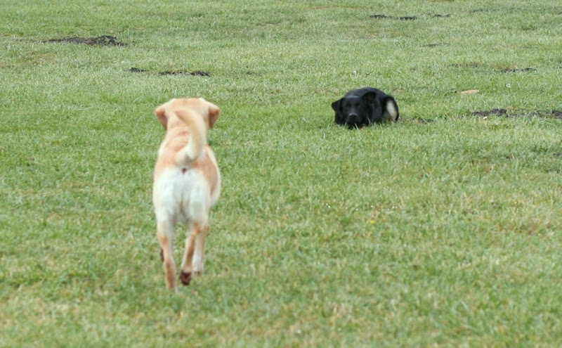 buster lays crouched down in the grass, like he's hiding, while cabana looks at him from a distance