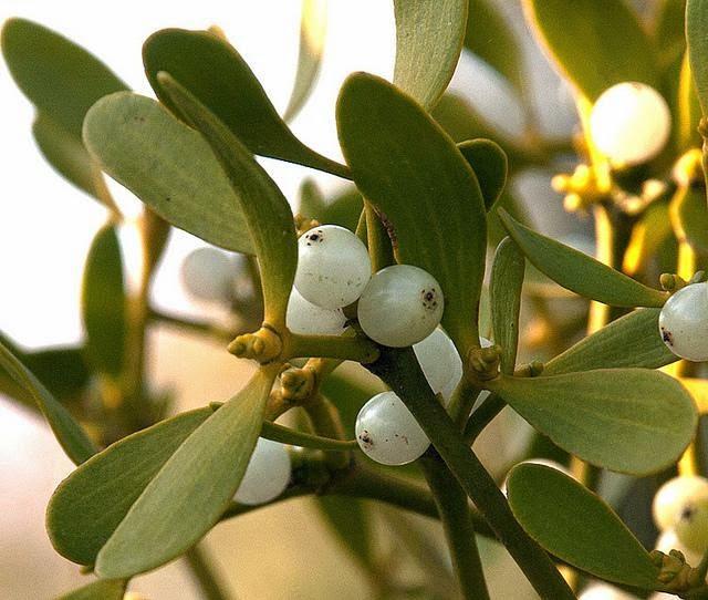 il vischio, pianta simbolo di Yule