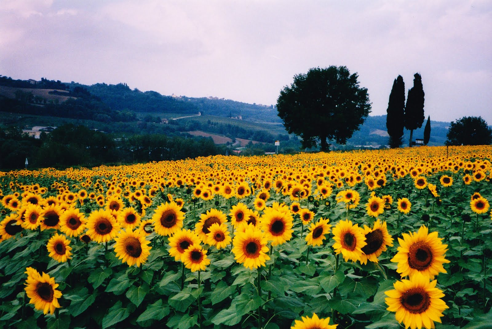 Chèvrefeuille s haiku blog Sunflower