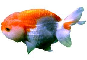 El blog de el gold fish y de otros tipos de peces for Peces goldfish tipos