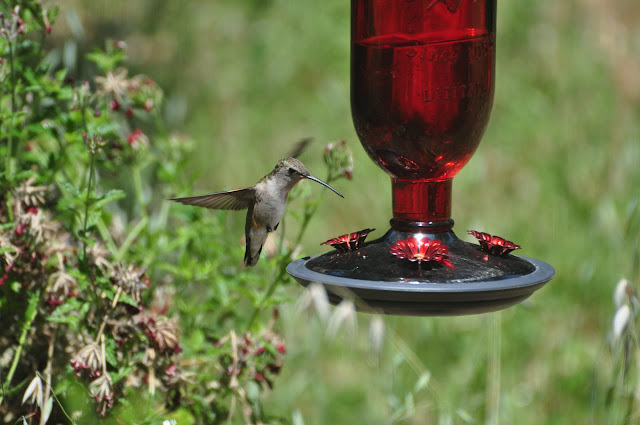Stalking hummingbirds, my new profession