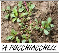 LA PUCCHIACHELLA è una pianta spontanea, una volta venduta come insalata.