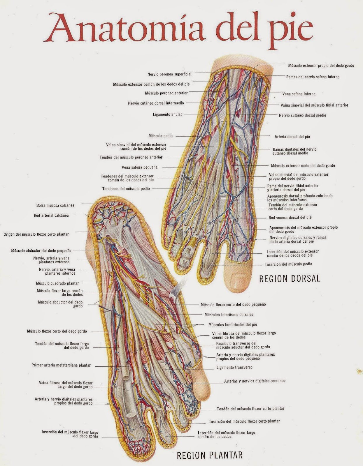 Anatomia Del Pie Derecho | www.imagenesmy.com