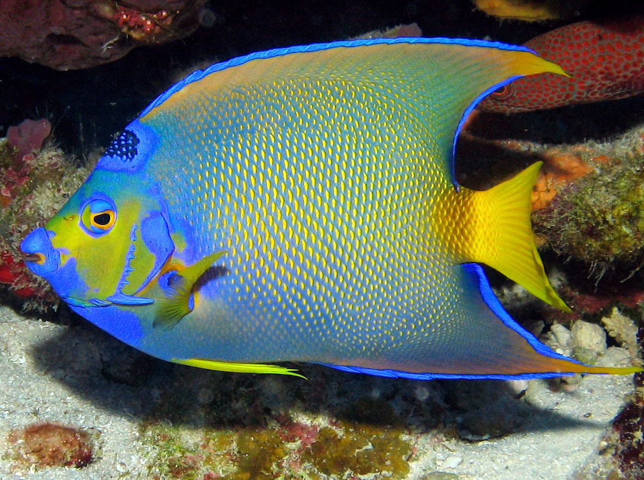 Wild life animal for Queen angel fish