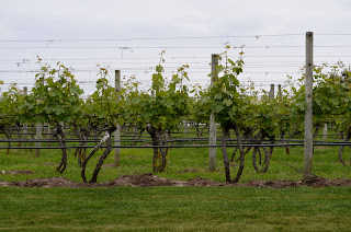 Grape vines in the vineyard at Truro Vineyard of Cape Cod