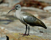 Hadeda, opvallende roepende vogel