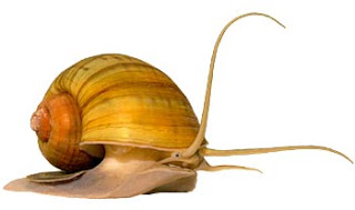 A Gold Snail, Of Indonesia
