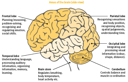 brain parts functions | brain puzzles image, Human Body