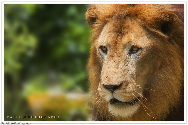 3. African Lion