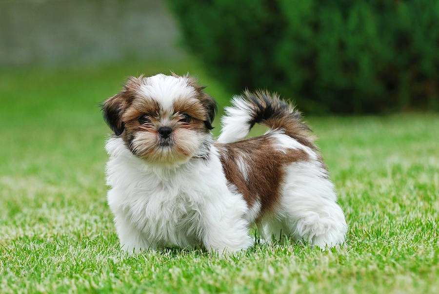 MOST POPULAR DOG BREEDS YEAR 2013