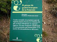 Placa informativa del Pi Pinyer de les Quatre Branques. Autor: Erill