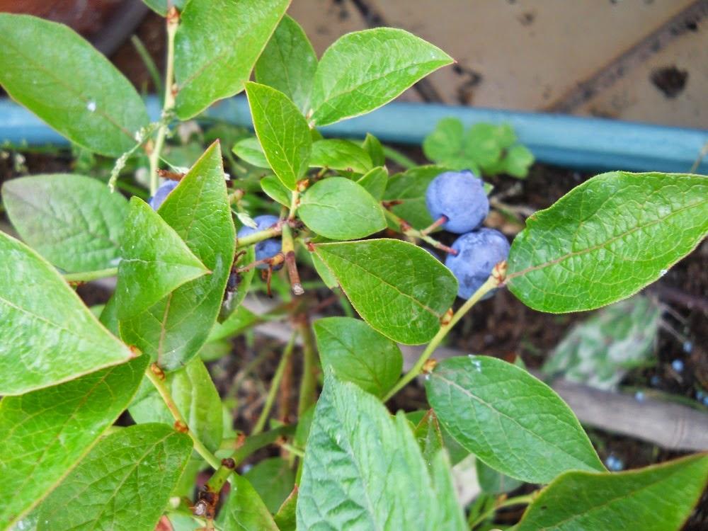 hojas del arandano