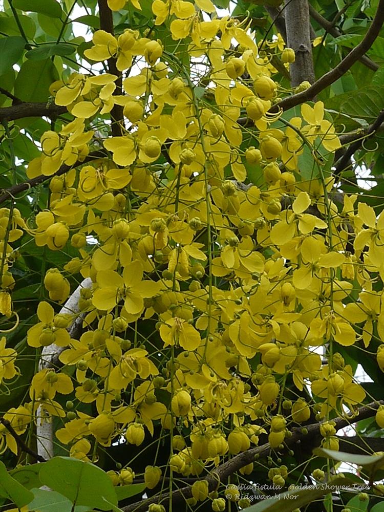 Cassia fistula, Golden Shower Tree, Indian Laburnum, Ratchaphruek ...