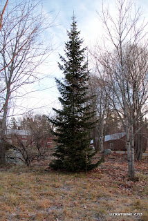 Serbgran Picea omorika