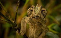 Macro Chameleon Picture and Photo 20