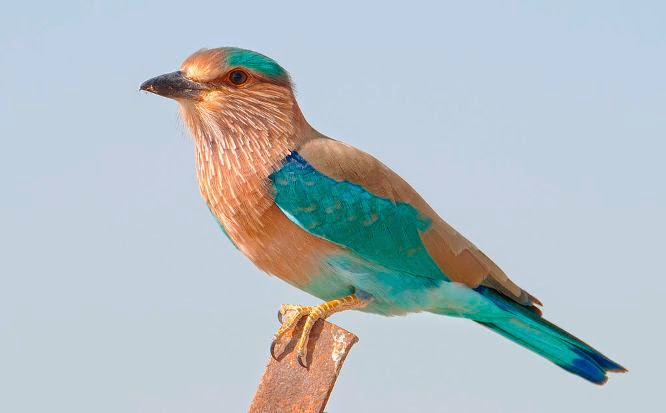 Indian Roller Palapitta Telangana State Bird