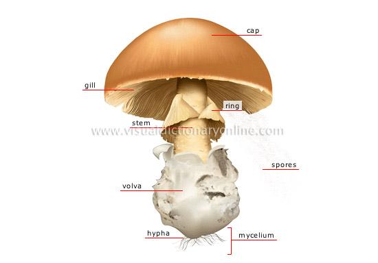 Kimeni S Blog Jamur Ascomycota Dan Basidiomycota