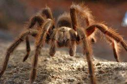 Mερμηγκάνα, η φαρμακερή αράχνη
