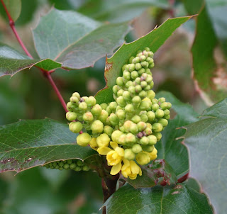 Mahonia-#CVGrounds-Gary+Webb