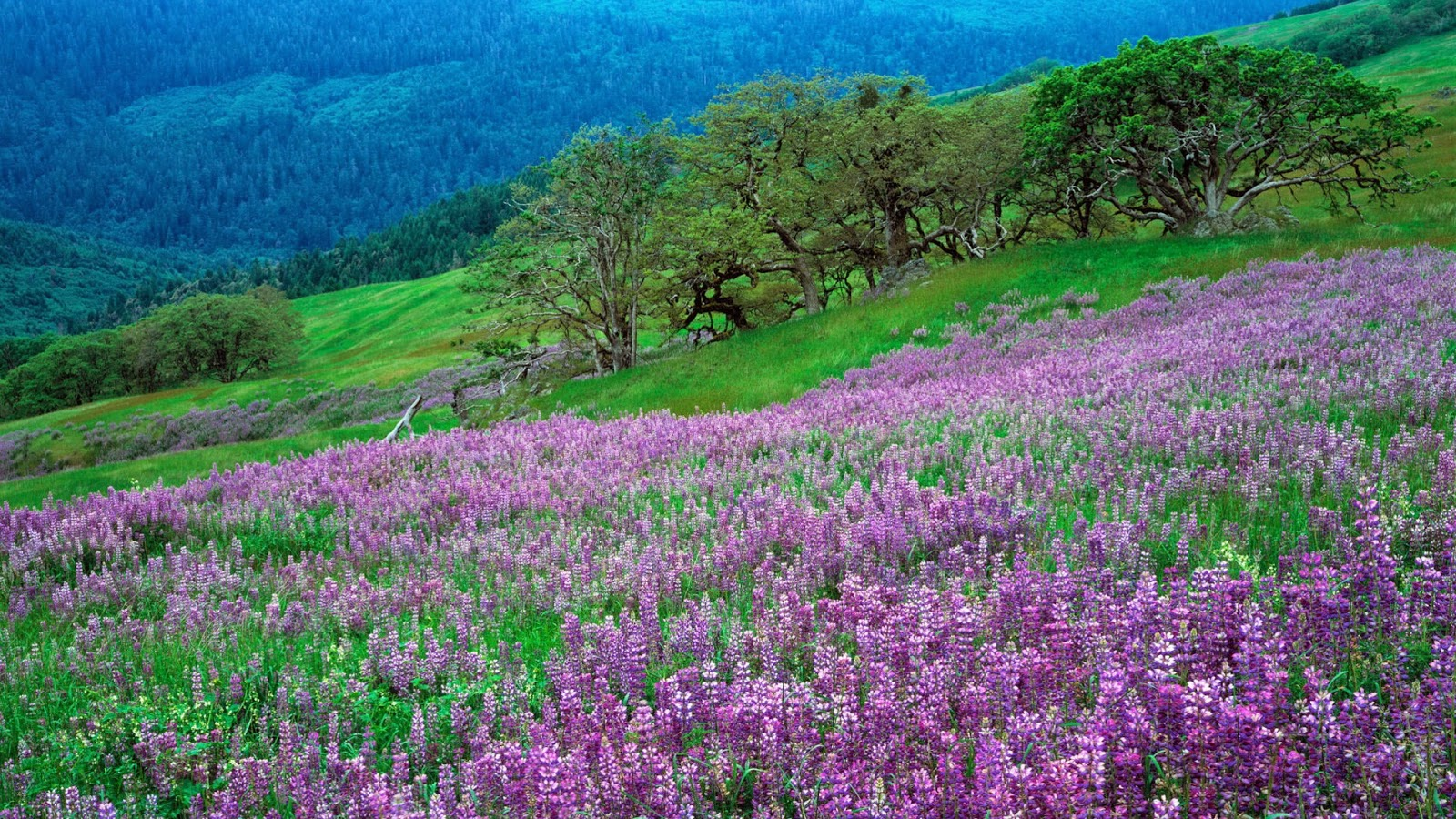 Purple flowers on the hill free hd desktop wallpaper