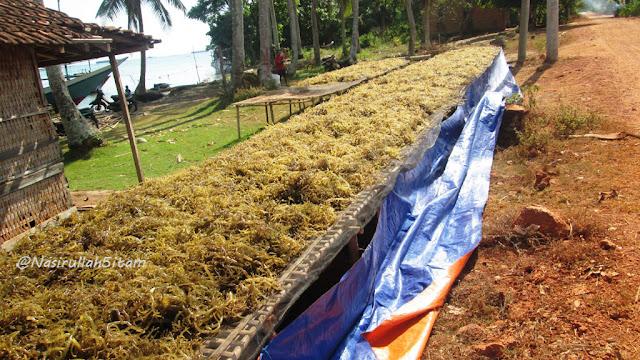 Rumput Laut juga dijemur di tepian jalan