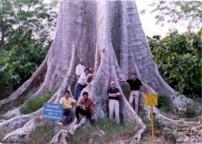 Pohon Bangris sangat kokoh dan kuat